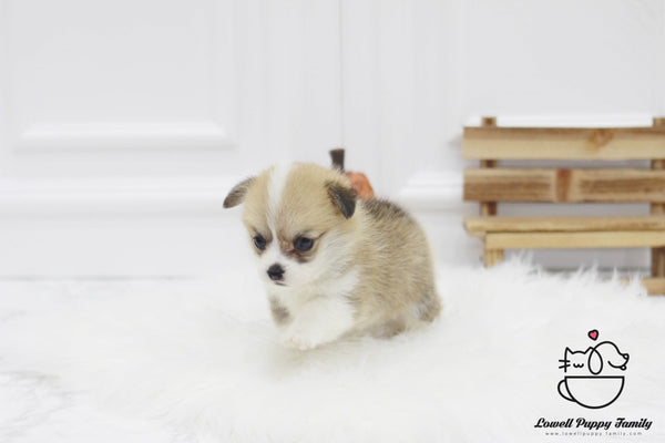 Teacup Welsh corgi Female [Gigi]