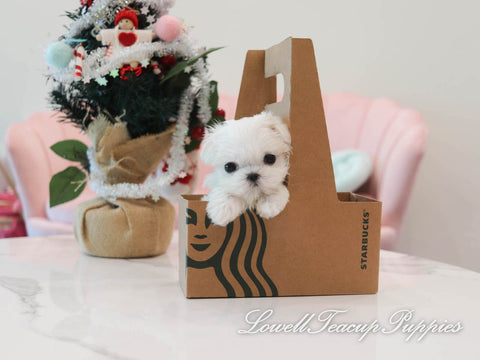 Teacup Maltese Male [Louis]