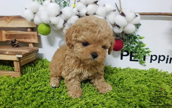 Teacup Maltipoo Male [Gem]