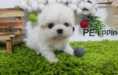Teacup Maltese Male [Kara]