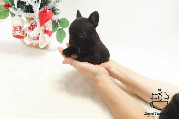 Teacup French Bulldog Male [Gring]