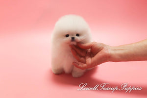 Teacup Pomeranian Male [Toby]