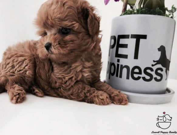 Teacup Maltipoo Female [Dior]