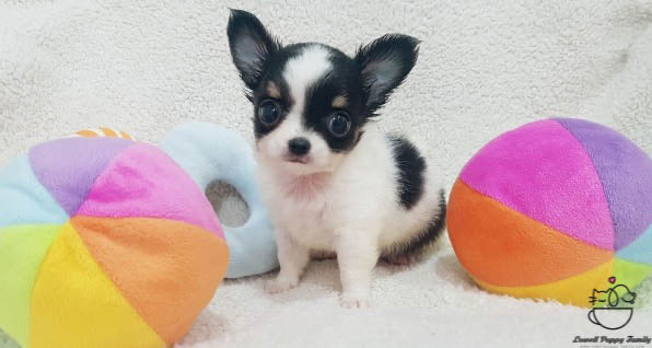 Teacup Long coat Chihuahua [Ivy]