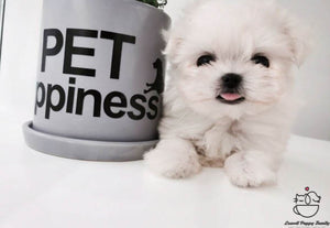 Teacup Maltese Female [Daisy]