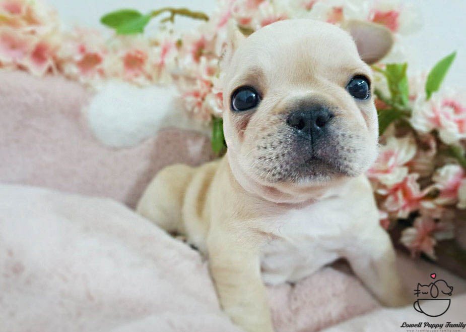 French bulldog [Becky]