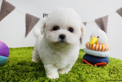 Teacup Bichon frise Male [Raye]