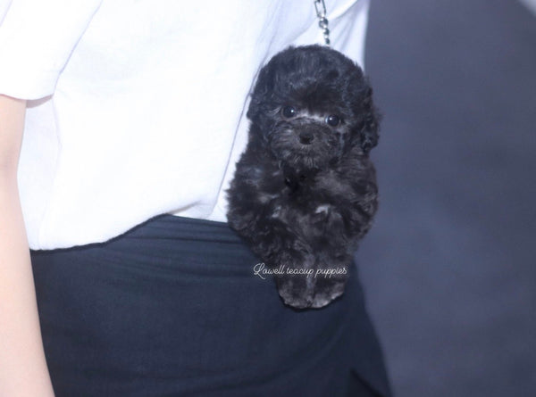 Teacup Poodle Female [Rose]