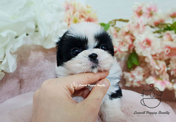 Teacup Maltipoo Female [Tiramisu]