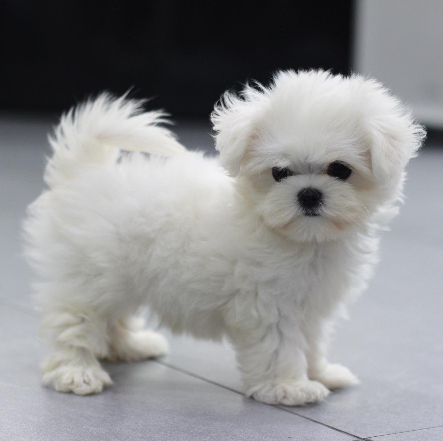 Teacup maltese Female [Mia]