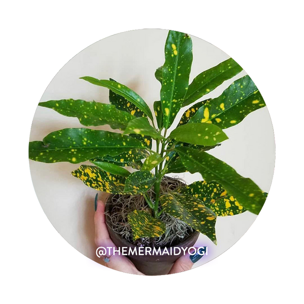 Gold Dust Croton Care Instructions