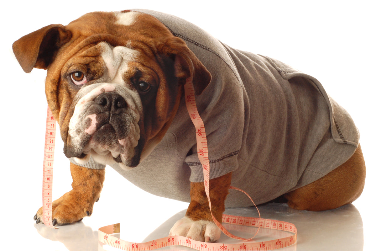 Bulldog with a tape measure around its neck for Style Hound Australia sizing