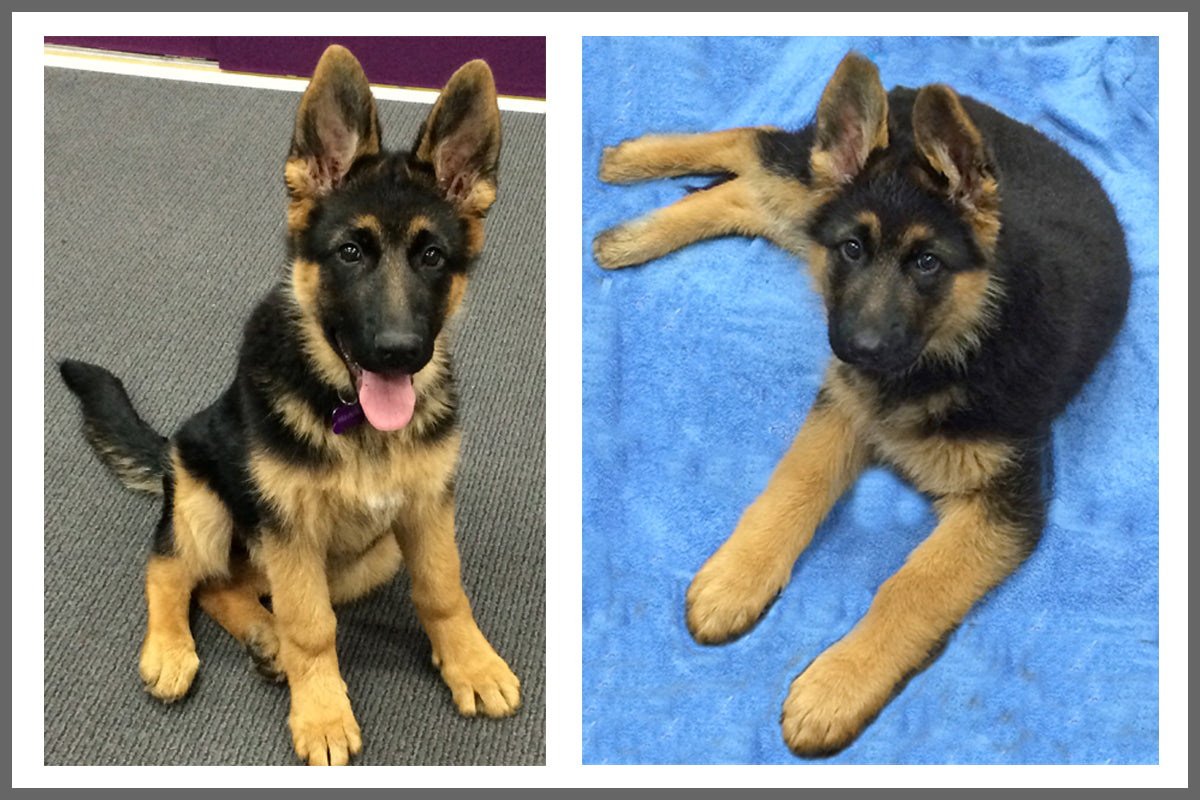 2 images of Maddie the German Shepherd from Style Hound Australia s a young puppy