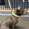 Buddy the Staffy wearing natural tan Deluxe Double Rolled soft leather dog collar from Style Hound
