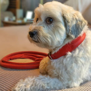 Percy the white terrier wearing red Deluxe Double Rolled luxury leather dog collar and lead from Style Hound