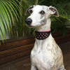 Ziggy the Whippet wearing pink Crystal Hound luxury leather dog collar from Style Hound