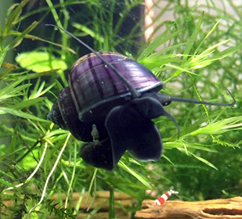 Aquatic Arts 3 B-Grade Mystery Snails (Pomacea bridgesii, Live Young Adult Snails! 1/2 to 2+ inches) - Assorted Colors - Algae-Eaters