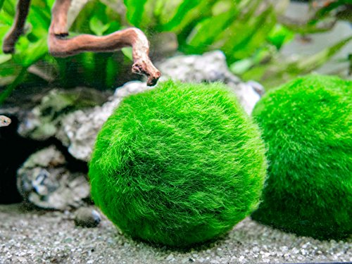 Aquatic Arts 3 Betta Fish Balls - Live Marimo Aquarium Plants for Fish Tanks - Natural Toy Accessories for Betta Fish