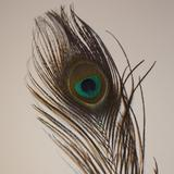 Natural Peacock Eye Feather (50cm) - AU - B Unique Millinery