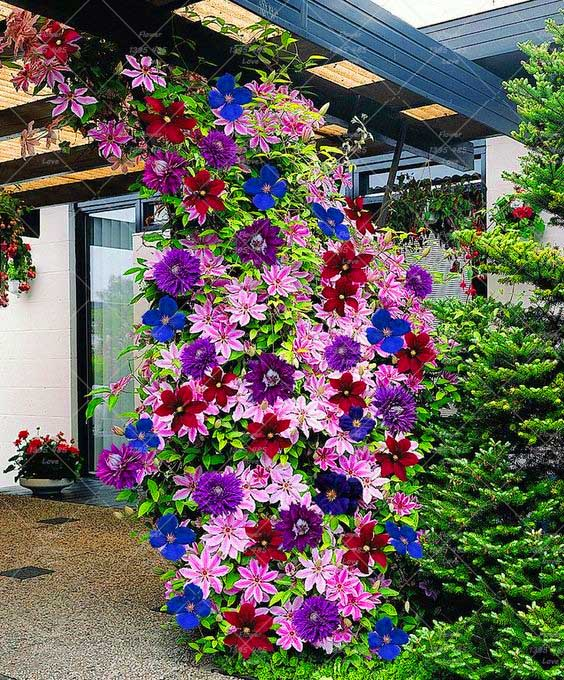 2 pcs Climbing Clematis Bulbs