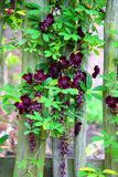 Climbing Clematis Bulbs-2 pcs