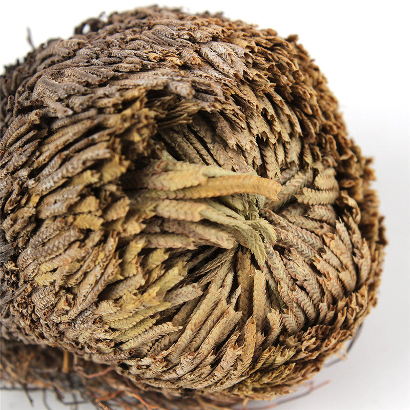 Rose Of Jericho Dinosaur Plant