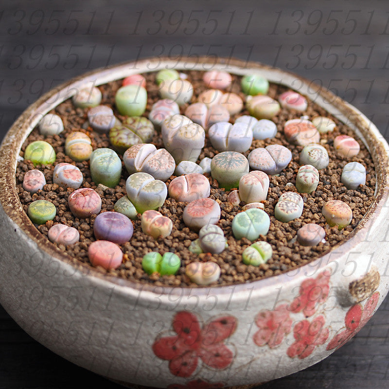 Lithops Succulent Plant,100 Pcs/Bag