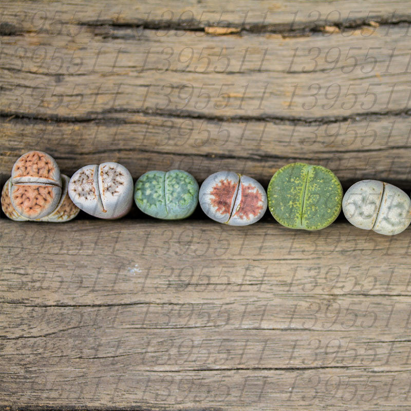 100 Pcs/Bag Lithops Succulent Plant