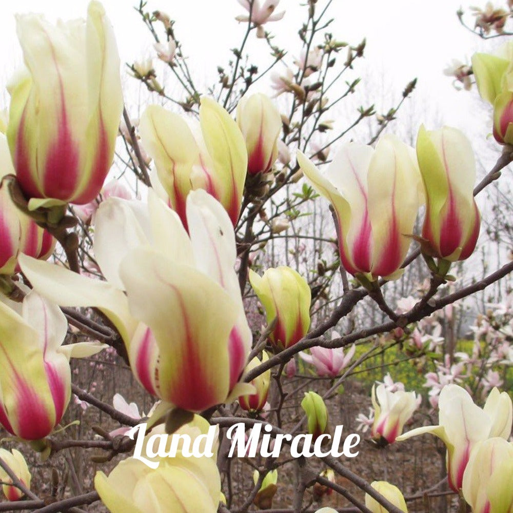 Yellow & Pink Sunrise Magnolia 10 Seeds