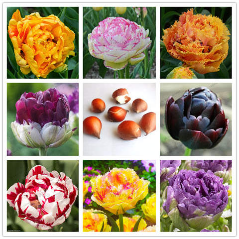 Double Color Tulip Bulbs-5 Pcs