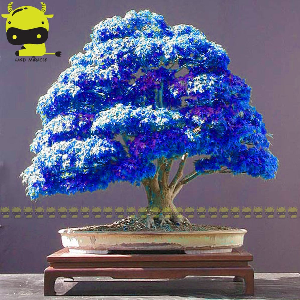 Blue Ghost Japanese Maple Tree