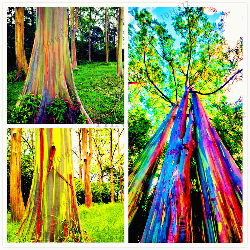 Hawaii Rainbow Eucalyptus Tree-100pcs/bag