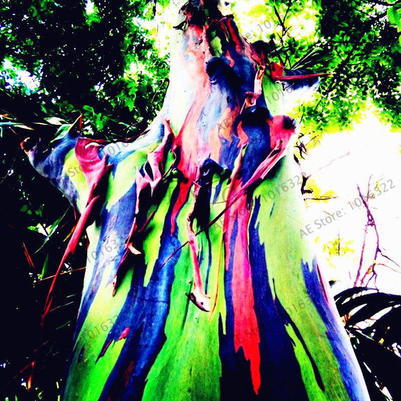 100pcs/bag Hawaii Rainbow Eucalyptus Tree