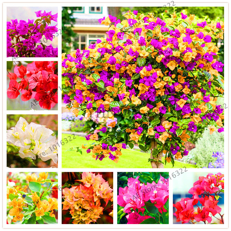 101 Mix Colors Bougainvillea Flower
