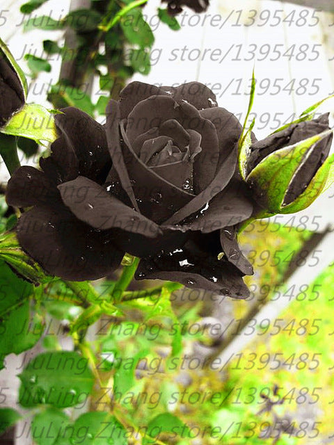 100 Seeds Black Rose Plant