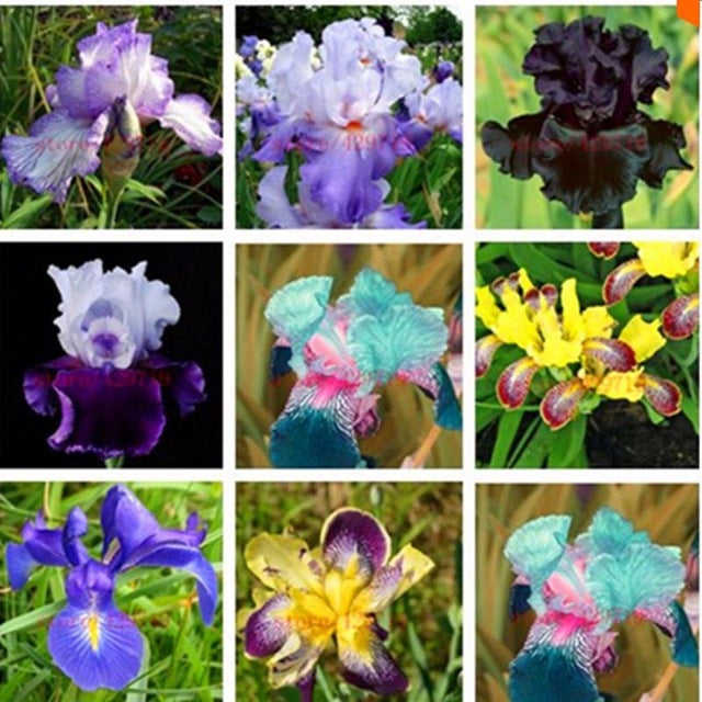 100 Seeds Iris Bonsai Plant