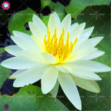Lotus Aquatic Flower-5 Pcs/Bag