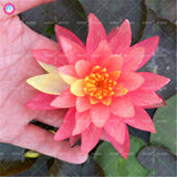 5 Pcs/Bag Lotus Aquatic Flower
