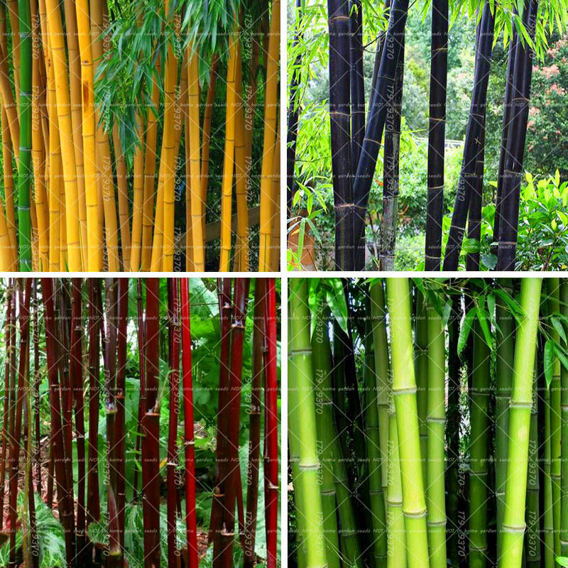 Giant Bamboo Tree-40 PCS