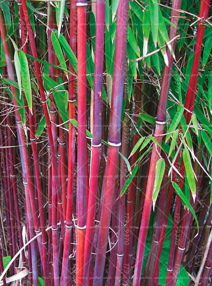 40 PCS Giant Bamboo Tree