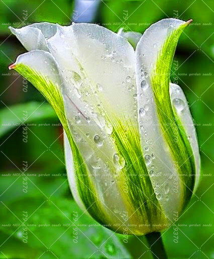 100 Seeds Aromatic Tulip