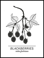 Poster: Blackberries, by Paperago