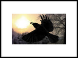 Poster: Crow with berry, by Discontinued products
