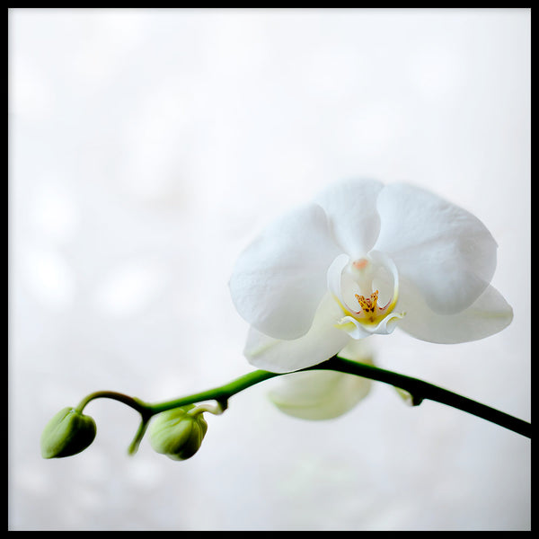 Poster: Orchid, by Vesa Aaltonen Photography