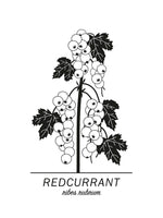 Poster: Redcurrant, by Paperago