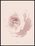 Poster: Rosy Rose, by Ingrid Kraiser - ingrid art design