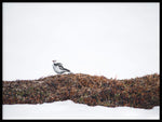 Poster: Snow bunting, by VY