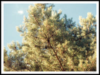 Poster: Pine tree top, by Discontinued products