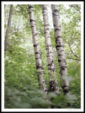 Poster: Three birches, by Discontinued products