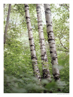 Poster: Three birches, by Owl Streets